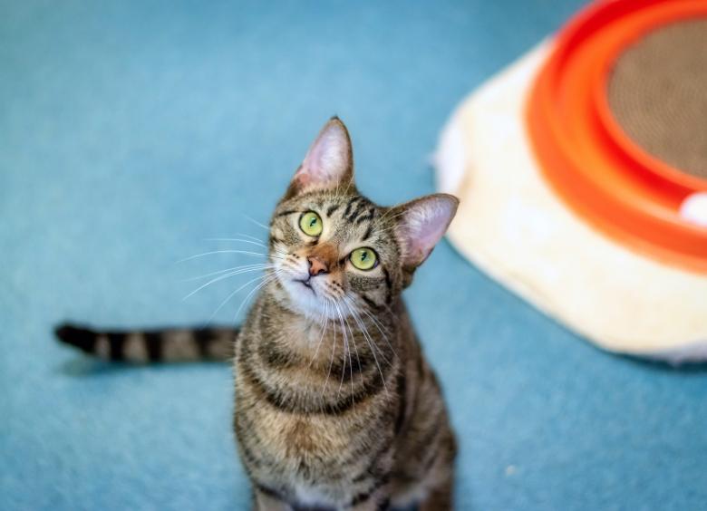 Caturday Free Cat Adoptions Humane Society Naples