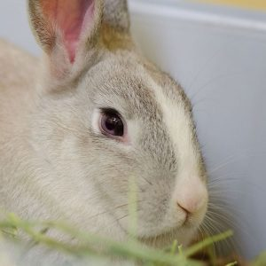 Adopt a Rabbit - Cinnabon the Rabbit