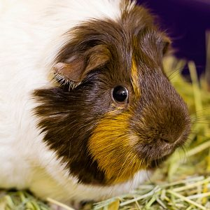 Adopt a Small Animal - Petunia the Guinea Pig