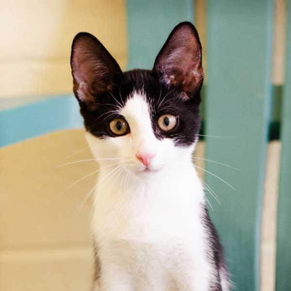 Adoptable Cats Humane Society Naples | Non-Profit, No-Kill Animal Shelter Naples, Florida