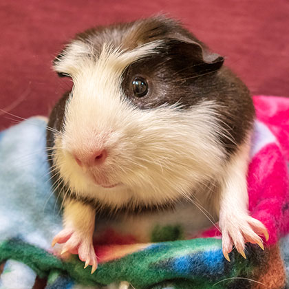 Bobby featured guinea pig at the Humane Society Naples, Collier County No-Kill Animal Shelter
