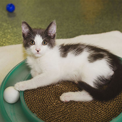 Monty - Adoptable Pet Cat | Humane Society Naples Collier County No-Kill Animal Shelter