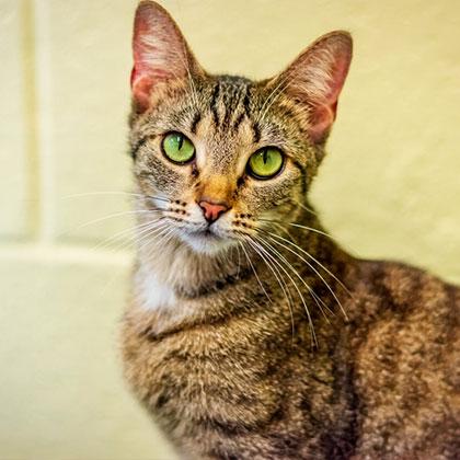Nala - Adoptable Pet Cat   Humane Society Naples Collier County No-Kill Animal Shelter
