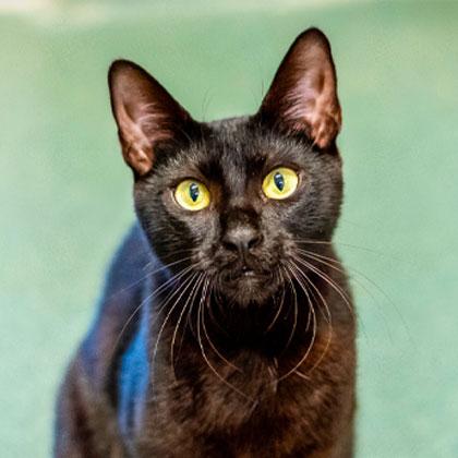 Petal - Adoptable Pet Cat | Humane Society Naples Collier County No-Kill Animal Shelter