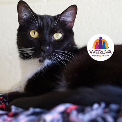 Holiday Weruva Spotlight Cat at the Humane Society Naples Collier County No-Kill Animal Shelter