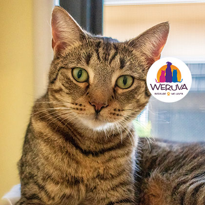 Hudson Weruva Spotlight Cat at the Humane Society Naples Collier County No-Kill Animal Shelter