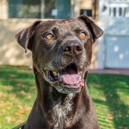 Nitro Spotlight Dog at the Humane Society Naples Collier County No-Kill Animal Shelter
