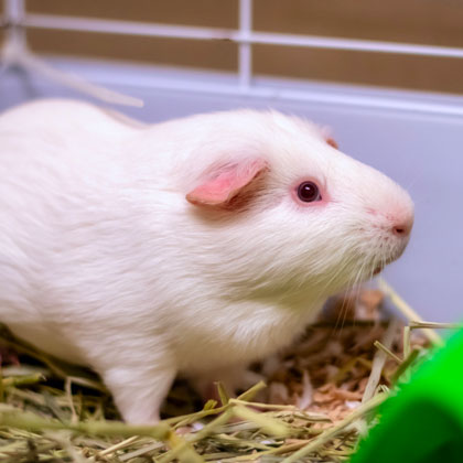 Nova - Adoptable Pet Guinea Pig | Humane Society Naples Collier County No-Kill Animal Shelter