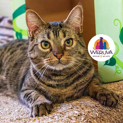 Toby Weruva February Spotlight Cat at the Humane Society Naples Collier County No-Kill Animal Shelter